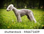 Dog Bedlington Terrier Standin...