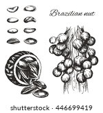 vector sketch of the brazil nut ... | Shutterstock .eps vector #446699419