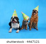three dogs at a birthday celebration with hats on - stock photo