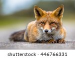 Relaxing European Red Fox ...