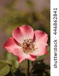 Small photo of Happy Chappy pink apricot rose, rosa, flower blooms as ground cover in a botanical garden in summer