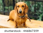 Dachshund Dog  In Outdoor....