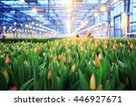 Plantation Of Tulips In A...