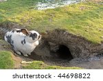 Rabbit Resting By It's Hole