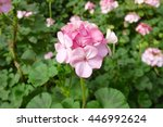 balcony plants pink geraniums | Shutterstock . vector #446992624