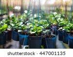 Many Hoya Leaf Or Green Foliag...