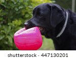 Stock photo labrador with a ball in mouth 447130201