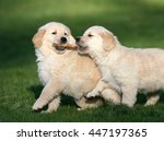 Stock photo golden retriever puppy 447197365