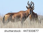 A Red Hartebeest In Dry...