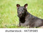 Black Patterdale Terrier Dog...