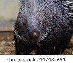 Crested porcupine (Hystrix cristata) or African porcupine