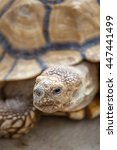 Small photo of African spurred tortoise