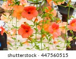 Chinese Trumpet Creeper Is A...