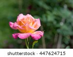 Stock photo beautiful rose flower in the garden after the rain small depth of field 447624715