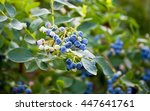 blueberries ripening on the... | Shutterstock . vector #447641761