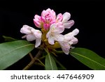 Mountain Laurel Blossom...
