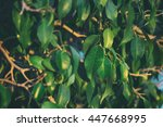 green leaves and branches of... | Shutterstock . vector #447668995