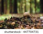 Puffball Mushrooms On Stump In...