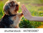 Stock photo yorkshire terrier gives paw his owner closeup with human hand 447853087