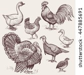 vector illustration set poultry ... | Shutterstock .eps vector #447885691