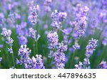 lavender flowers lilac nature... | Shutterstock . vector #447896635