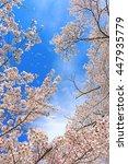 cherry blossoms | Shutterstock . vector #447935779