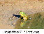 Bull Frog At The Edge Of A...