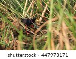 Small photo of Black Crake (Amaurornis flavirostra) in Queen Elizabeth National Park,Uganda