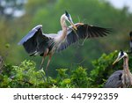 great blue heron  ardea... | Shutterstock . vector #447992359