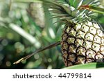 Pineapple Fruit On The Ground...