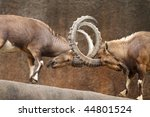 Two wild goats play-fight on the edge of a rock cliff with horns interlocked. - stock photo