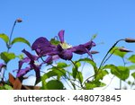 Side View Of Purple Clematis...