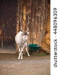 Small photo of portrait of white antilope addax in zoological park