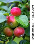 Small photo of Red apples covered with raindrops in autumn, typical sight in Aland Island.