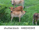 Cows In Grass Field.