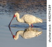 Small photo of African spoonbill hunting for supper in dam, South Africa