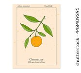 Clementine  Citrus Clementina ...