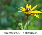Yellow Daisy With A Bee And...