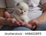 ragdoll kitten | Shutterstock . vector #448602895