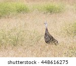 wild turkey female standing in... | Shutterstock . vector #448616275
