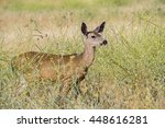 a doe of a black tail deer... | Shutterstock . vector #448616281