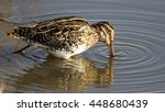 Small photo of African snipe hunting for fish in dam, South Africa