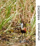 Small photo of Okavango delta, Botswana, African Jacana, walking in shallow water, Actophilornis africanus