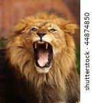 Stock photo close up of african lion roaring with mouth wide open 44874850