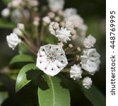 White Laurel Blossom In The...