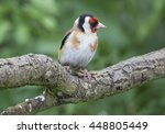 male goldfinch perched on a... | Shutterstock . vector #448805449