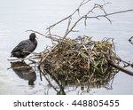 female coot standing by her... | Shutterstock . vector #448805455