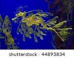 leafy sea dragon photographed...   Shutterstock . vector #44893834
