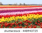 Tulip Fields In The Skagit...