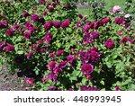Stock photo rose munstead wood 448993945